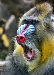 Mandrill (Scott 97006) Tags: mandrill animal jaw face color primate expression zoo