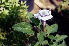 Nikkormat Garden 03 (SnappinDragon) Tags: film 35mm nikon