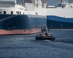 FreightersTug-21638 (gpferd) Tags: animal bird boat gull ringbilledgull river tugboat vehicle water baltimore maryland unitedstates us