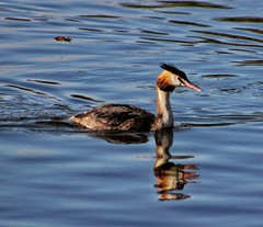 Great crested grebe! 😀 (LeanneHall3 :-)) Tags: white black orange feathers bird greatcrestedgrebe animal closeup closeupphotography lake eastpark hull kingstonuponhull