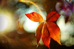 bye bye ivy (Dirty Thumper) Tags: flickrfriday orange sony sonyphotographing alpha a7ii a7 a7mkii ilce ilcea7m2 zeiss pancolar prime legacy vintage 50mm foliage ivy autumn autumnleaves fall bokeh mf manual manualfocus carlzeissjena light october