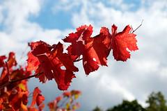 rosso vite (♥iana♥) Tags: vino uva grape vendemmia autunno autumn fall rosso red vite vigna grapevine montemarano avellino campania italia