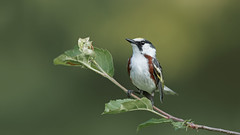 Chestnut-sided warbler (Setophaga pensylvanica). M. (vladimirmorozov) Tags: chestnutsidedwarbler setophagapensylvanica coth coth5