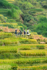 Harvesting Rice (langthangdaydo) Tags: terraced terraces field fields yellow green color colorful summer travel living rice ricefield photo season paddy explorer adventure trip vietnam asia live nice grass bush landscape outdoor community village houses nature daily life terrace home farm fragrant agriculture farmer tree animal harvesting harvest