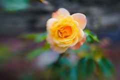 Garden Rose (judy dean) Tags: 2018 judydean garden lensbaby sweet50 rose yellow