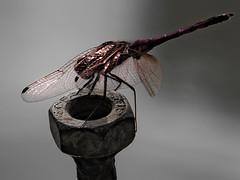 Ho hisse ! (jara311) Tags: insecte libellule