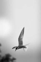 Common tern (mellting) Tags: eskilstuna nikond500 platser sigma1506005063sport skjulsta bloggad flickr instagram matsellting mellting nikon sverige sweden fisktärna commontern sternahirundo bird tern monocrome bnw blackandwhite