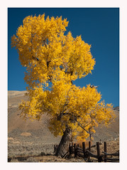 Golden Autumn Hues (Waldemar*) Tags: usa rockymountains wyoming yellowstone nationalpark lamarvalley autumn fall colors golden yellow tree fence nature cottonwood