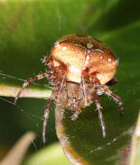 Garden Spider - Araneus diadematus (NRE) Tags: wild wildlife garden sussex uk spider arachnid