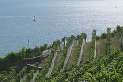 // vent et vignoble (Riex) Tags: voile spinnaker ventarriere rearwind boat voilier lac leman lake rangs rows vignes aran villette lavaux vineyard vignoble été summer switzerland suisse vaud g9x