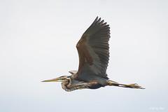 DSC_6377 (P2 New) Tags: 2018 animaux ardéidés ciconiiformes date espagne extremadura héronpourpré mai oiseaux pays