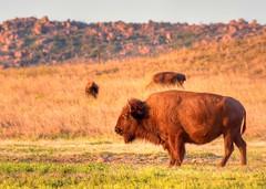 2018 - Vacation - Wichita Mountains Wildlife Refuge 2 (zendt66) Tags: zendt66 zendt nikon d7200 wichita mountains wildlife refuge lawton oklahoma bison photomatix hdr nikkor 200500mm photoshop buffalo