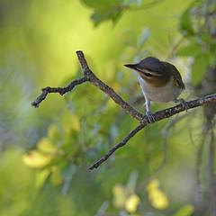 Red-eyed vireo (justkim1106) Tags: vireo redeyedvireo tinybird tinysongbird songbird texasbird nature wildlife bokeh naturebokeh texaswildlife texasnature