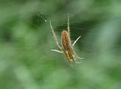 Orb weaver (Bug Eric) Tags: animals wildlife nature outdoors arachnids arachtober spiders orbweaver orbweavers araneidae araneae texas santaananationalwildliferefuge usa northamerica lariniadirecta september272018