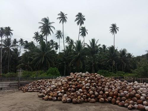 Coconut Harvest in Ogotua