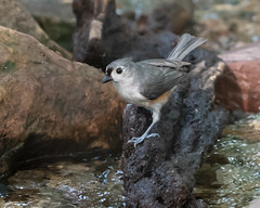 On The Edge... (ragtops2000) Tags: bird water bath edge rock tuftedtitmouse cute beautiful forest light eye evening spring