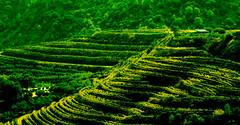 Viñas verdes (Ricardo Pallejá) Tags: gratallops viñas landscape cataluña catalonia campo priorat agricultura tarragona textura paisaje colors color verde green cultivos nikon nikon85mm18 españa spain d3200 ricardopallejaherrera