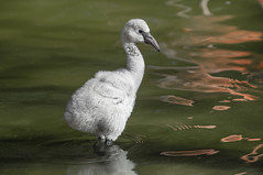 Foster Flamingos (San Diego Zoo Global) Tags: animals nature birds flamingos chicks baby cute sandiego conservation