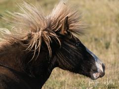 Best of Iceland-21 (photojen10) Tags: horses iceland kirkjufell snæfellsnes landscape mountain peninsula sonya9