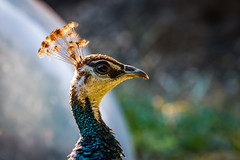 Peacock (Janek Uin) Tags: city zoo brooklyn newyork wildlife bird