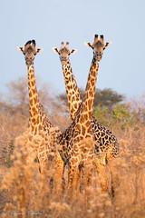 Thornicroft's Giraffes (sharon.verkuilen) Tags: africa zambia luambe giraffe thornicroftsgiraffe safari sonya7rii