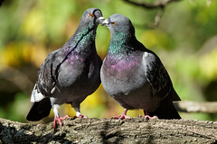 Pigeon day (2/3) : kiss time (Franck Zumella) Tags: pigeon fall automne red rouge orange color couleur love time kiss embrasser bisou amour animal nature wildlife bird oiseau water eau lake lac branch branche
