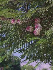Nice tree in Luxor (F.Lassen) Tags: natur md minolta urlaub rokkor3570 karnaktempel blüte rokkor luxor