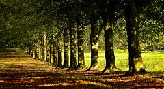 TREE LINE (chris .p) Tags: croft castle parkland nikon d610 trees tree herefordshire england autumn 2018 nt nationaltrust uk october view capture treeline croftcastleparkland