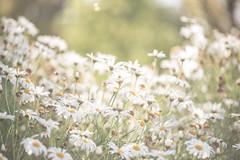 Daisy light (Amy Maher) Tags: yellow white green bokeh dof 105mm nikond750 springtime spring softhues garden lastlight sunset daisey flower season'sflora smileonsaturday