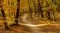 Padurea Faget (Eduard B. poze) Tags: forest wood tree autumn road colors leafs outdoor romania faget plant autumncolours autumnleaves landscape leica dlux padurea