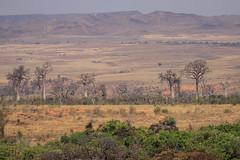 Baobab (bohnengarten) Tags: madagaskar madagascar eos 80d insel baum tree baobab affenbrotbaum adansonia