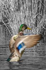 Duck Splash (Conchulio) Tags: ente duck spritzen color colour splash sony rxm4 rx10iv