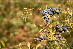 Sloes (oandrews) Tags: autumn autumnwatch berries berry blackthorn cambridgeshire canon canon70d canonuk fendrayton fendraytonlakes fruit nature naturereserve outdoors plant plants rspb sloe tree trees cambridge england unitedkingdom gb