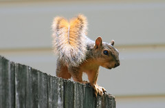 Is It Safe To Come Down? (Kaptured by Kala) Tags: sciurusniger foxsquirrel squirrel garlandtexas babysquirrel baby fence cautious youngsquirrel closeup outsidemywindow sunlit