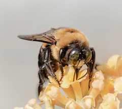 Google-eyes (tresed47) Tags: 2018 201810oct 20181001chestercountymacro bumblebee chestercounty content fall folder home insects macro october pennsylvania peterscamera petersphotos places season takenby technical us