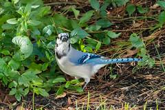 Blue Jay Looking at Me (Jersey Camera) Tags: bird birds bluejay jay