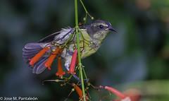 """2-No se me había ocurrido que su nombre común de """"PINCHITA"""" podía estar asociado al acto de """"PINCHAR"""" las flores para extraer su nectar como puede apreciarse en esta serie. Solo hoy se me ha encendido el bombillo sobre esta curiosidad (Cimarrón Mayor 16,000.000. VISITAS GRACIAS) Tags: ordenpasseriformes familiathraupidae génerocoereba pinchita pincha ciguirillin platanero bananaquit cigüita ciguítacomún mielero mielerocejiblanco mielerocomún plataneracomún reinita reinitacomún reinitamielera nombrecientificocoerevaflaveolabananivora nombreinglesbananaquit lugardecapturarrpsantodomingo repdom ave vogel bird oiseau paxaro fugl pássaro птица fågel uccello pták vták txori lintu aderyn éan madár cimarrónmayor panta pantaleón josémiguelpantaleón objetivo500mm telefoto700mm 7dmarkii canoneos canoneos7dmarkii naturaleza libertad libertee libre free fauna dominicano pájaro montañas dominicanrepublic quisqueya repúblicadominicana caribe républiquedominicaine caraïbes caraibi repubblicadominicana dominikanischerepublik karibik karaiby dominikana dominikarerrepublika karibe dominikanskerepublik caribien dominikanskerepublikk karibien"""