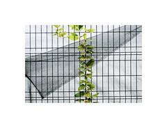 PA210083 (ufuk tozelik) Tags: ufuktozelik leaves fold fence plant park urban backlit lines
