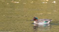 9Q6A5584 (2) (Alinbidford) Tags: alancurtis brandonmarsh nature teal wildbirds wildlife