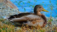 Duck (Veselina Dimitrova) Tags: greatphotographers naturepicture naturephoto ducks birds bird naturephotography photography photooftheday picoftheday bestoftheday colourful beautiful nature duck