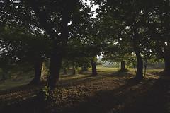 Castagni (sdrusna79) Tags: landscape paesaggio castagni morning