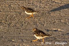 Turnstone at lowestoft.8_wm (madmax557) Tags: turnstone bird animals wildlife wildlifebirds uk england eastanglia greatbritain suffolk