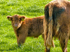 SF28 (tubblesnap) Tags: highland cattle cow cows coos calf calves hellifield beef cute farm birthday treat lightroom panasonic lumix furry cuddly yorkshire dales ginger