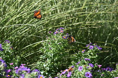 Monarch in flight (Overduebook) Tags: sunkengardenslincoln monarch butterfly butterflies flowers