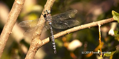 Canada Darner Dragonfly (Trevdog67) Tags: subarctic darner dragonfly winged predator insect 4wings flying mapletonpark moncton newbrunswick canada sony sonyrx10iv sonyrx10m4 september2018 nature naturephotography naturelovers