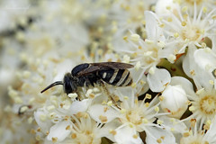 Leaf Cutter Bee (blackcatcraft) Tags: insects garden flower macro bee fly leafcutter