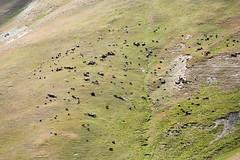 Troupeau (hubertguyon) Tags: asie central asia kirghizstan montagne mountain centrale troupeau herd