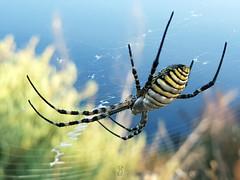 Argiope trifasciata (Pedro Muñoz Sánchez) Tags: argiope trifasciata araña