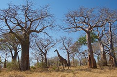 IMGP5194 Giraffe and baobabs (Claudio e Lucia Images around the world) Tags: ruahanp tanzania giraffa giraffe baobab tree hightree feeding tall pentax pentaxk30 pentax18135 pentaxart africa africageographic nationalgeographic animal tallanimal eating sunnyday