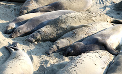 Northern Elephant Seal (raffaele pagani) Tags: elephantseal northernelephantseal animal reserveconservationarea sanluisobispocountybeach bigsur bigsurcoast highway1 cabrillohwy pacificcoast california unitedstates stradapanoramica panoramicroad panorama paesaggio seascape oceanview oceano pacifico pacificocean beach atmospheres top10worldfamousstreets canon animale